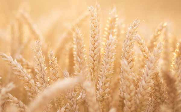 The Wheat Belly Diet – Diet and Nutrition